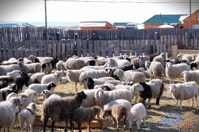 В Усольской эко-деревне разводят овец бурятской породы буубэй