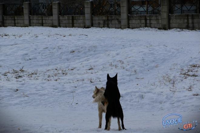 Журналист выяснял......: Ловят собак в Усолье или нет?!