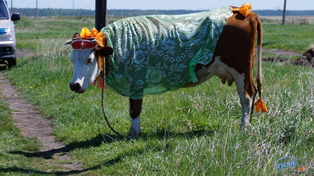 Лучшую корову выбрали в Усольском районе