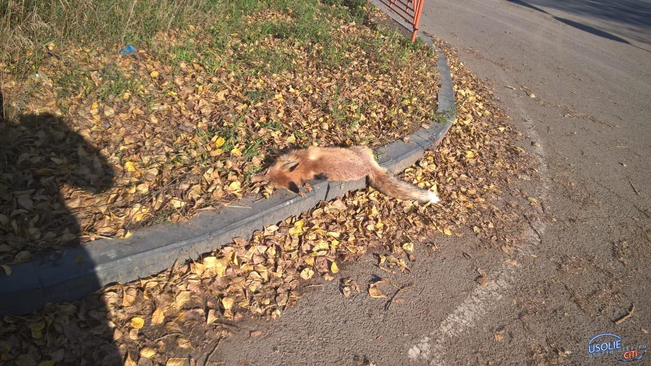 Труп лисы лежит прямо на улице Усолья