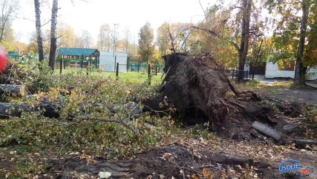 В Усолье вырубили тысячу аварийных деревьев