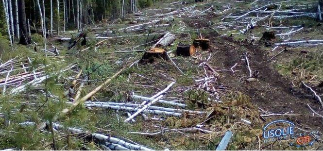 В Усольском лесничестве незаконно вырубили лес
