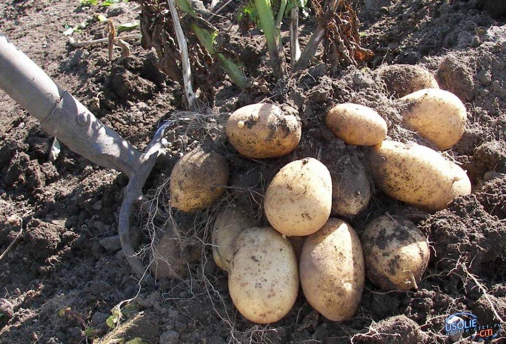 Усольчане массово ринулись копать картофель
