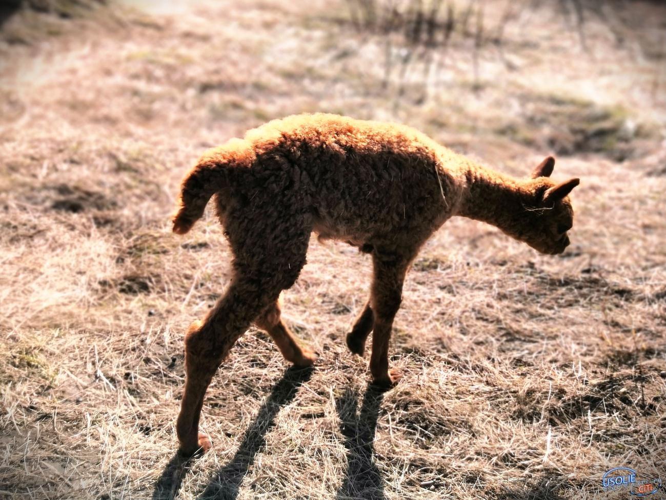 В Усолье в зоопарке родился детеныш альпака