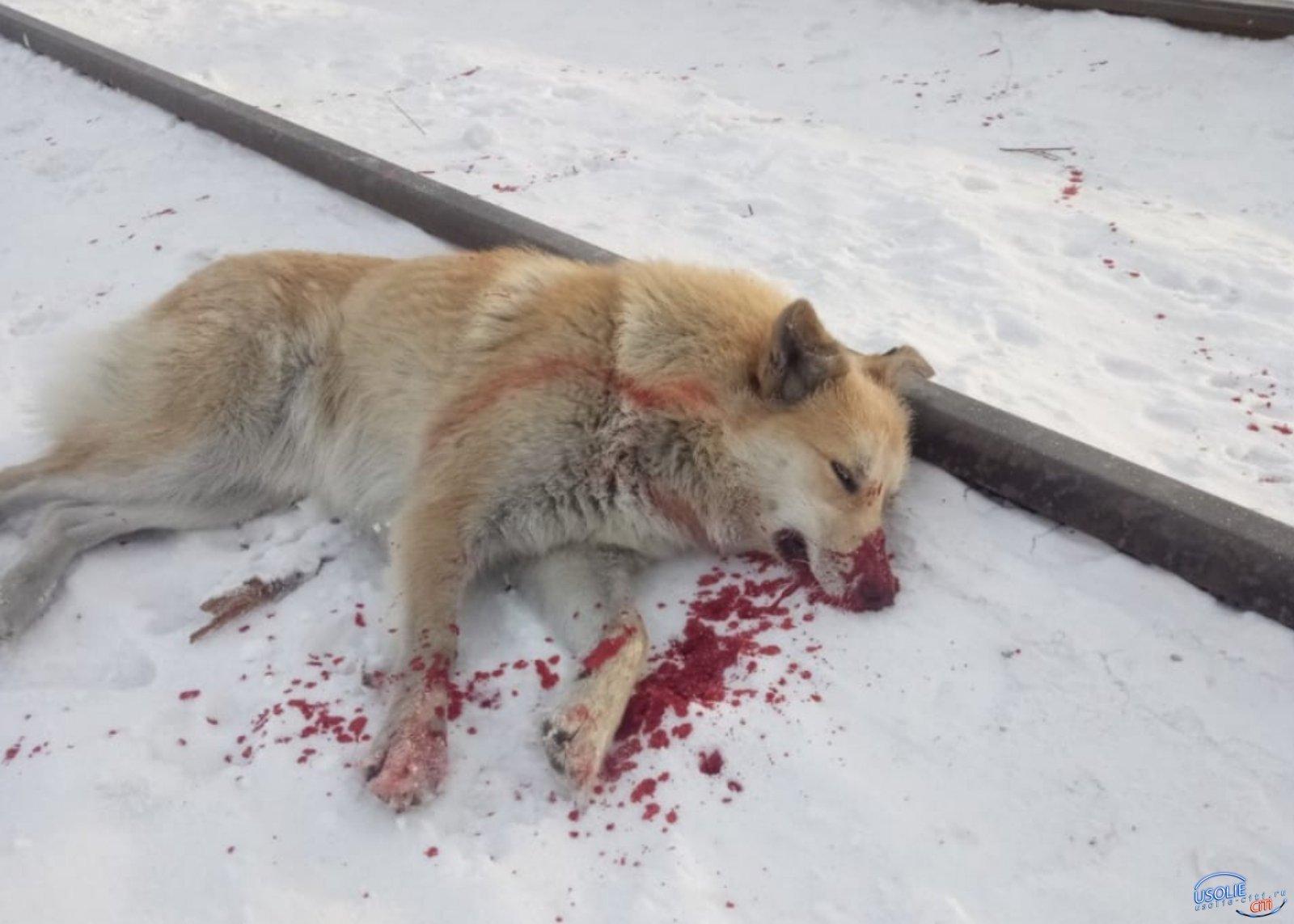 ЧП в Усолье: Стреляли в собаку ?