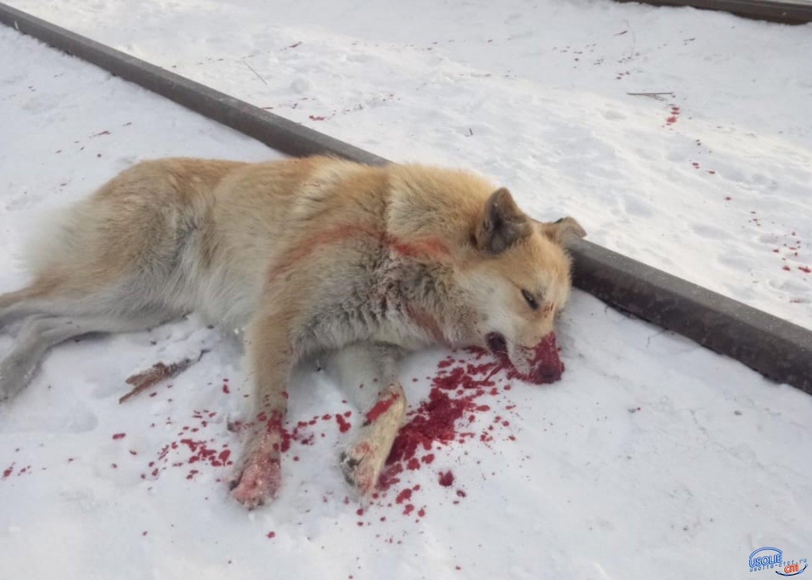 Полиция утверждает, что в Усолье в собаку не стреляли